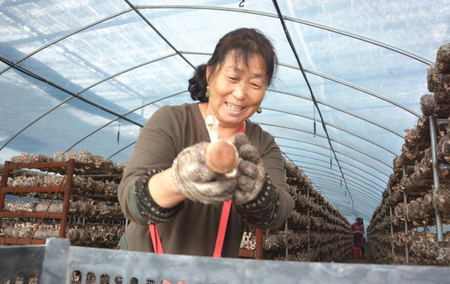 建立香菇产业园,建设24座现代化钢结构香菇大棚及冷库,烤箱,料场等