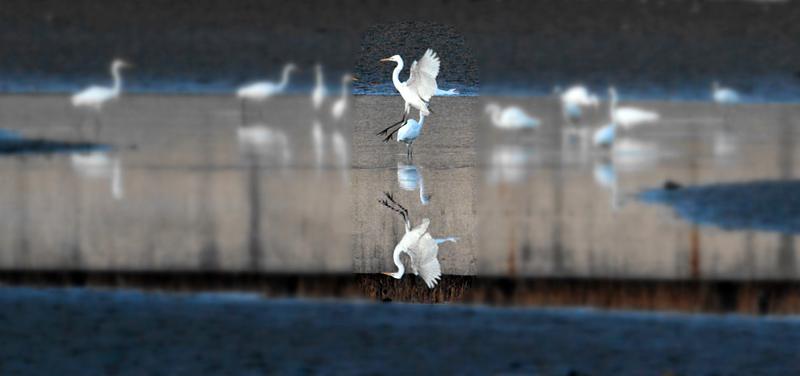 组图:太原汾河公园迎来大批白鹭【3】