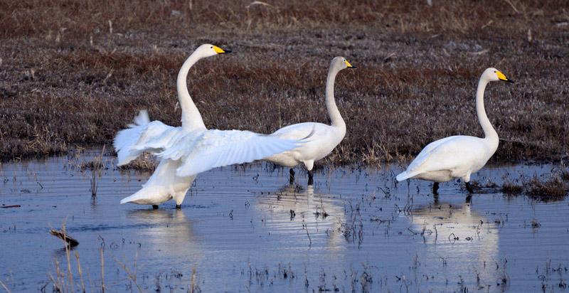 山西浑源神溪湿地引来白天鹅栖息