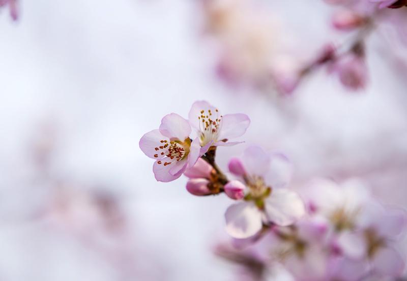 山西平陆:春风送暖 山桃花开(图)