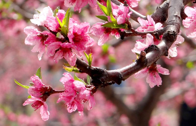 山西临汾:桃花盛开引客来 尽享浪漫春光