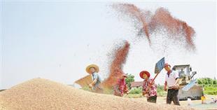乡村振兴开好局 夏粮丰收成定局        今年是我国实施乡村振兴战略开局之年,全国夏粮生产即将迎来又一个丰收年景。