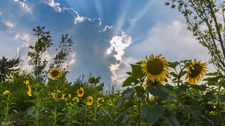 壶关栽种油葵花  致富赏景两相宜